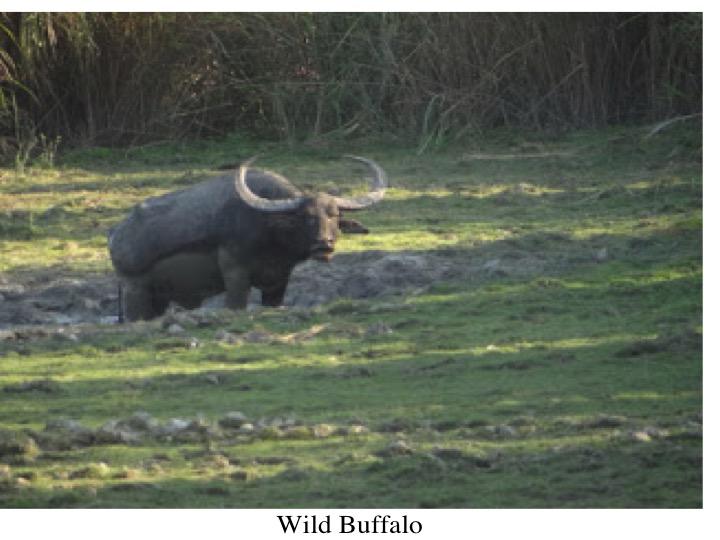Kaziranga Buffalo